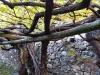 Die Weinrebe, ca. 350 Jahre