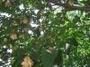 Einheimische Pflanzen, Rotbuche
