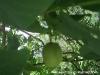 Nußbaum