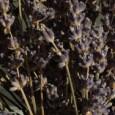 Lavendel ist ein herrlich blühender Strauch, dessen blauvioletten Blüten ihren Duft erst so richtig freigeben, wenn man sie zwischen den Fingern zerreibt. Die Blüten, wenn sie noch nicht ganz geöffnet […]