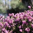 Tee aus Heidekrautblüten eignet sich hervorragend bei leichten Blasenentzündungen, wenn die Möglichkeit besteht gleichzeitig das Bett zu hüten. Ansonsten im Winter und Frühjahr abends trinken, über einen längeren Zeitraum ca. […]