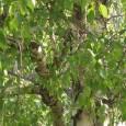 Der Teeaufguß der Birkenblätter soll nicht gekocht werden. Der Birkenblättertee wirkt stark entwässernd und wird in der Volksheilkunde im Mai oder Juni als 2. Frühjahrskur gerne getrunken. Auch älteren Menschen […]