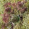 Die Hauswurz ist eine wunderschöne Pflanze die jeden Steingarten eine besondere Note verleiht. Die Hauswurz gedeiht auch in großen flachen Gefäßen und ist sehr pflegeleicht. Nach überlieferten Bezeichnungen wird sie […]