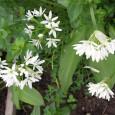 Der Bärlauch, im Volksmund auch Waldknoblauch genannt, ist ein wirksamer Frühjahrsentschlaker. Diese stark nach Knoblauch riechende Pflanze reinigt den Magen und das Blut. Die zarten Bärlauchblätter eignen sich sehr gut […]