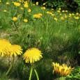 Die Löwenzahnwochen am Deutschnonsberg finden seit ihrem Start im Frühjahr 1995 jedes Jahr – Ende April bis Anfang Mai – in den vier Deutschnonsberger Gemeinden Proveis (1420 ü.d.M.), Laurein, St. […]